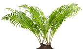 Fern forest real bush isolated — 图库照片