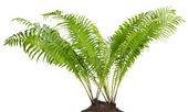 Fern orman gerçek bush izole — Stok fotoğraf