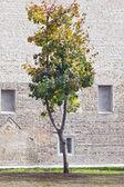 Concetto di albero di acero solitario — Foto Stock