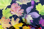 Mapleleaves in water — Stock Photo