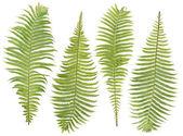 Set di foglie di felce — Foto Stock