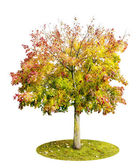 The lonely isolated autumn Maple tree — Stock Photo