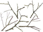 Old apple and cherries tree branches isolated — Stock Photo