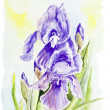 Irises blue spring flowers  — Stock Photo