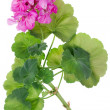 Stock Photo: Ideal pink flower Geranium