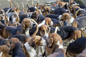 Hunter hounds dogs background — Stock Photo