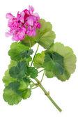 идеальный розовый цветок герани — Стоковое фото