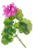 Ideal pink flower Geranium — Стоковое фото