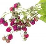 Wild forest raspberry — Stock Photo #21169703