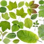 European plants leaves set — Stock Photo