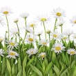 Daisies meadow isolated fragment — Stock Photo #22748583