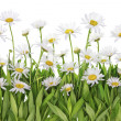 Daisies meadow isolated fragment - Stock Photo