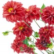 Red flying free dahlias concept — Stock Photo