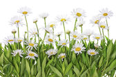 Daisies meadow isolated fragment — Stock Photo