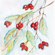 Red berries of a hawthorn — Stock Photo