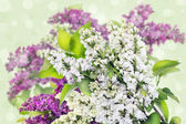White and purple, lilac background — Stock Photo