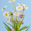Daisies bush on blue — Stock Photo
