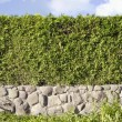 Thuja green hedges panoramic image — Stock Photo