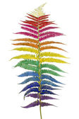 Raibow fern leaf isolated — Stock Photo