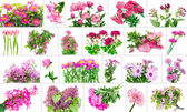 Only pink flowers set — Stock Photo