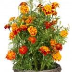 Golden Marigold flowers grow in basket — Stock Photo