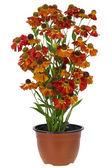Buisson de fleurs « opsis » en pot — Photo