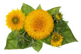 Sunflowers banner concept — Stock Photo