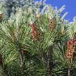 Pine tree flowers — Stock Photo