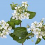 Spring raspberry — Stock Photo #36258851