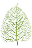 Leaf skeleton veins — Stock Photo
