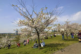 Japanese cherry trees  Lithuanian park — Stock Photo
