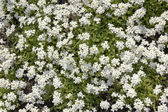 White myosotis spring background — Stock Photo