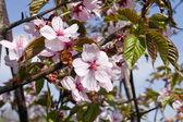 Blossoms Japanese cherry tree — Stock Photo