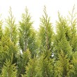 Big line of the Christmas tree branches — Stock Photo #49987473