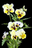 Yellow pansies for Halloween — Stock Photo