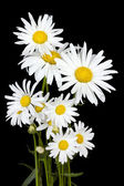 White daisies for Halloween — Stock Photo