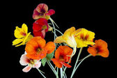 Nasturtium for Halloween — Stock Photo