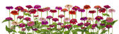 Zinnia  flowers big isolated border — Stock Photo