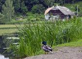 Duck rest — Foto de Stock