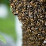 Honig Biene Schwarm — Stockfoto