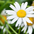 Chamomile — Stock Photo #31417603