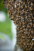 Honey Bee Swarm — Stock Photo