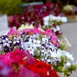 Flowers in flowerbeds  — Stock Photo