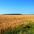 Rye field — Stock Photo