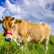Stock Photo: Jersey cow