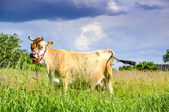 Jersey cow — Stock Photo