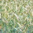 Mature wheat — Foto de Stock
