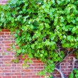 Stock Photo: Grape wine on brick wall