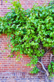 Grape wine on brick wall — Stock Photo