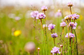 Violet flowers on meadows — Stock Photo